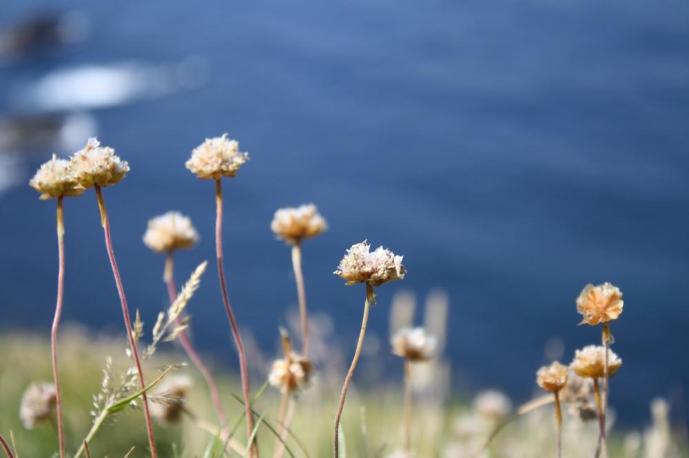 Lundy Island flowers